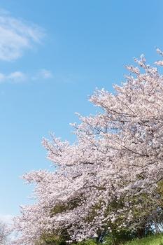 桜 引退.jpg